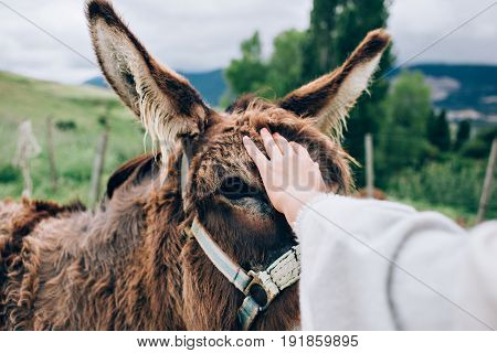 Close up with selective focus of female hand with tattoos caressing in tender way donkey in between ears