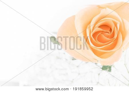 Pink Rose flowers on white background. Rosaceae.Postcard, cover card