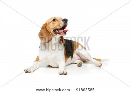 beautiful beagle girl dog isolated on white background. copy space.