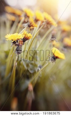 The blossoming summer yellow wild flowers - dandelions. Photo taken with Lensbaby