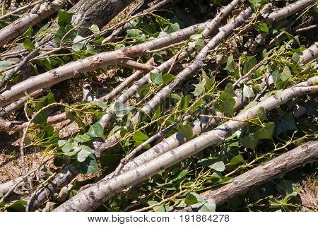 Summer. Sunny day. On the ground lie branches trunk and poplar leaves. Color green brown yellow gray