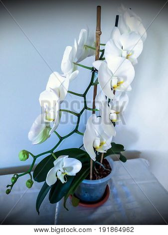 White flowering orchid in a pot on the table. View from above