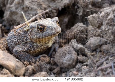 The common toad, European toad - Bufo bufo