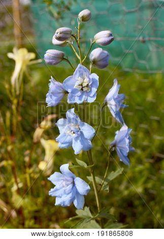 Pale Blue Delphinium Flowers And Buds Opening