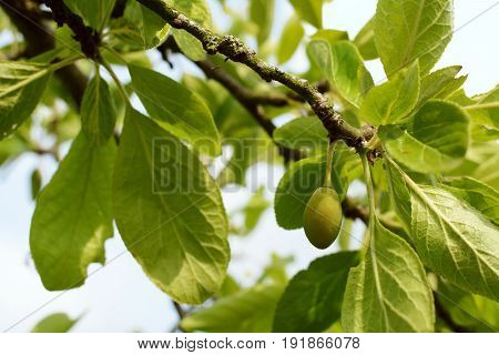 Single green unripe plum hanging from the branch of a fruit tree