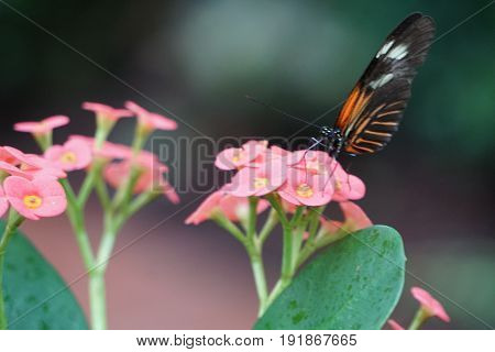 Butterfly, butterflies, nature, conservatory, flower, flowers, pink, vibrant, insect, bug, beautiful, living, live, black, orange, white, beauty, calm, tranquil, rest, resting, feeding, feeds, feed, tranquility, moment, moments, fly, flight
