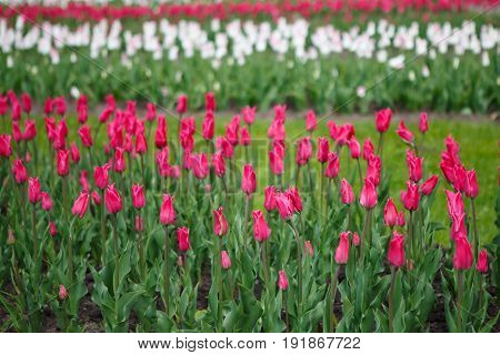Panorama of plantations of Tulips miliarity decorative red . Flowers tulips Burgundy - luxury of the Dutch variety. Tulip Lily exquisite. Cup-shaped flower.
