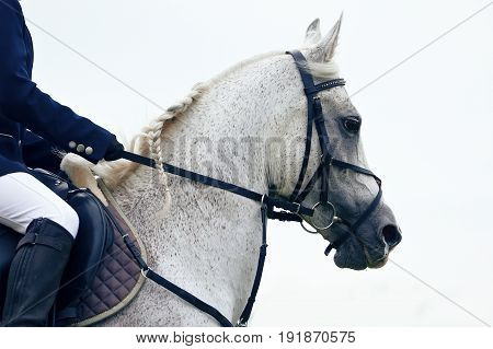 Portrait of a grey Arab sport horse in the competition.