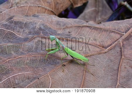 A green praying mantis wonders around on the forest floor