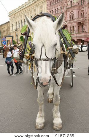 A white horse is harnessed and ready to drive a cart through the city