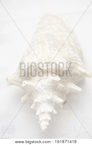 White large seashell concha isolated on white background