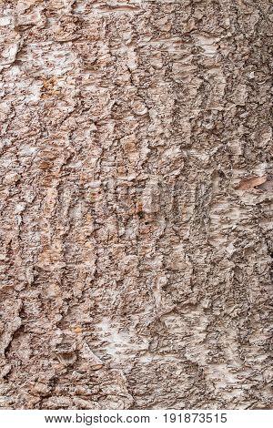 Tree Bark Texture, Light Brown Color