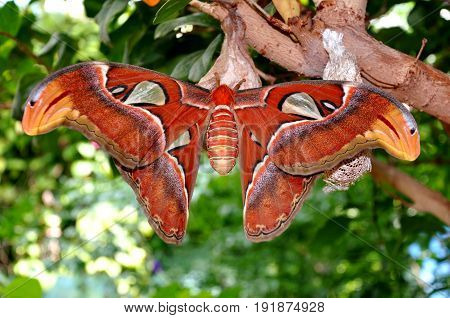 Giant Atlas moth on a tree in the gardens.