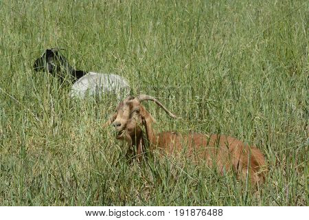 Kiko goats lying down to graze in pasture on hot summer day