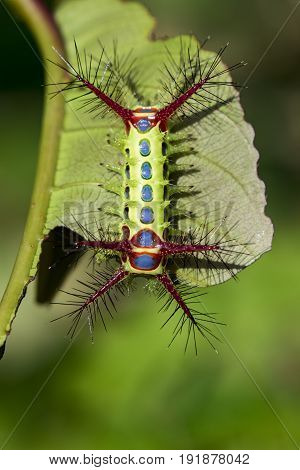 Image of a wattle cup caterpillar on nature background. Insect Animal