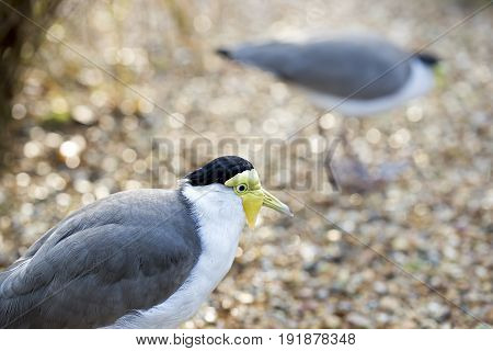 Masked lapwing in wildlife bird sanctuary park UK