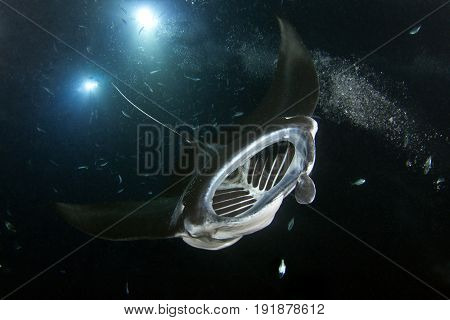 A manta swoops down on the divers at the manta ray night dive in Kona, Hawaii.