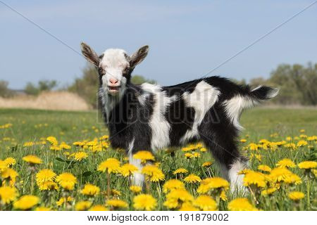 Young funny goat on the field in dandelions and crying