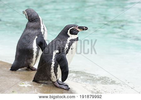 Humboldt penguins by the water, wildlife sanctuary