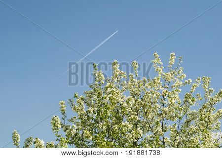 the plane on a background of a flowering tree