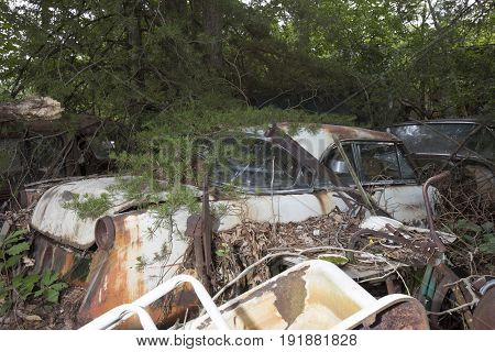 Rusty classic car under pine branches in junkyard.