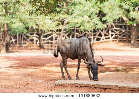 Wildebeest in the zoo , in Thailand