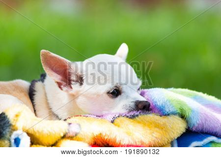 close up of a white chihuahua with his head down on a brightly colored blanket