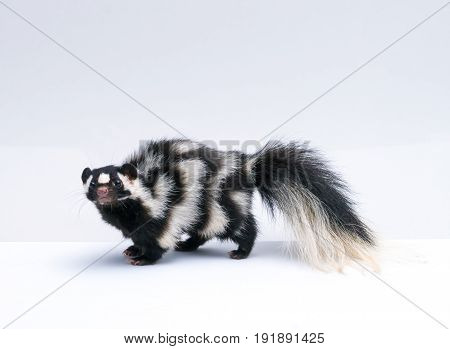 Spotted Skunk Isolated on White Background Paper