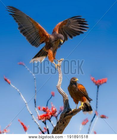 Harris Hawks on Ocotillo Branches with Red and Orange Flowers
