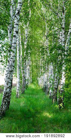 Landscape of a birch grove in spring
