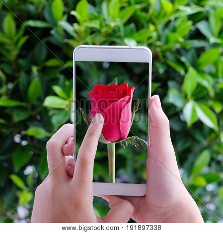 Hand touching smart phone with red rose on screen over green leaves background valentine's day concept