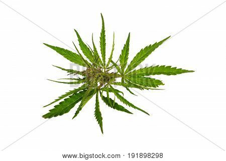 Cannabis plant leaves isolated on white background