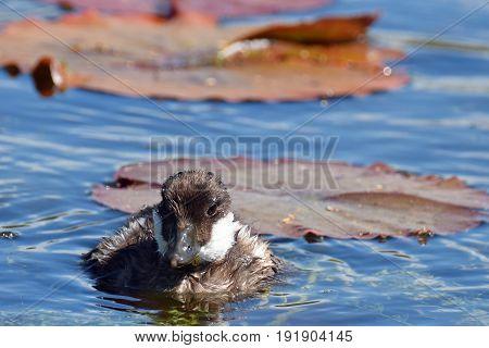 Common goldeneye (Bucephala clangula) duckling swimming on pond.