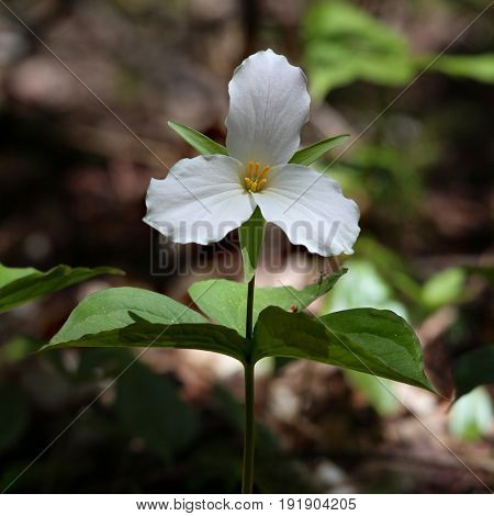 Trillium flower in bloom in Ontario, Canada, spring bloom close-up with soft background