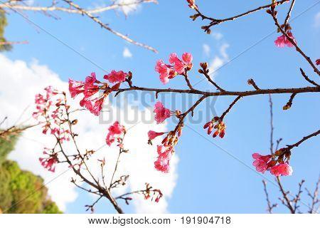pink Prunus cerasoides flower in nature garden