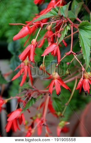 Vertical image of pretty red flowers that dangle from healthy green leaves of plant.