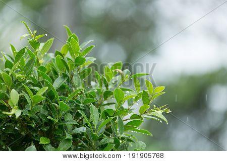 Rain Drop Falling On Green Leaf Tree Natural Background