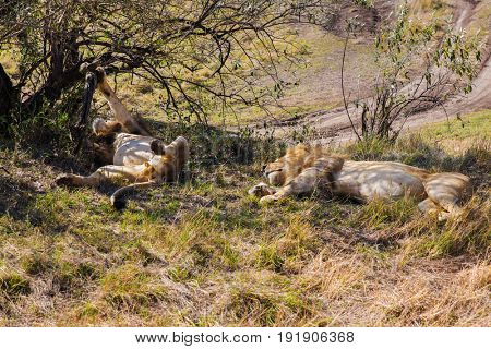 animal, nature and wildlife concept - male lions resting in maasai mara national reserve savannah at africa