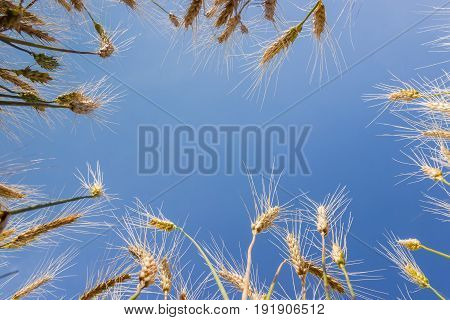Background of the blue sky in center and stems with ears of ripe wheat around the perimeter