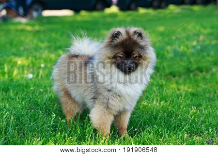 The small Pomeranian Spitz stands on green grass