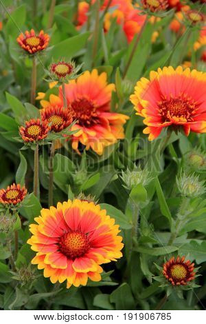 Vertical image of pretty orange and yellow flowers in garden
