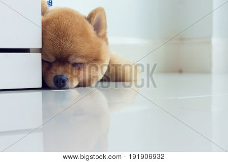 Pomeranian Puppy Dog Cute Pet Sleeping
