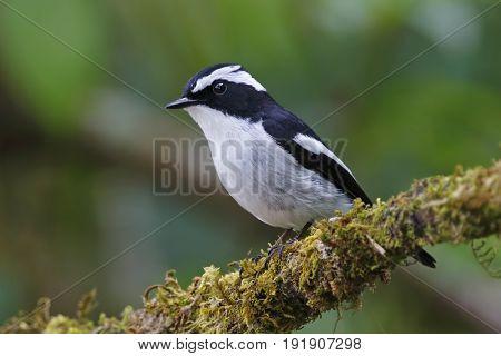Little Pied Flycatcher Ficedula Westermanni Male Cute Birds Of Thailand
