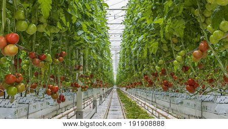 Harmelen The Netherlands - April 3 2017: Tomato nursery with red and green tomatoes in a glass greenhouse