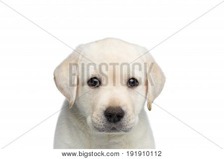 Close-up portrait of Scared Labrador Puppy on isolated white background, front view