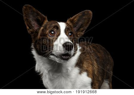 Close-up portrait of Brown with white Welsh Corgi Cardigan Dog, Funny face looking up on Isolated Black Background, front view