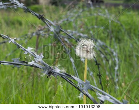 White dandelion after barbed wire with parachutes on it