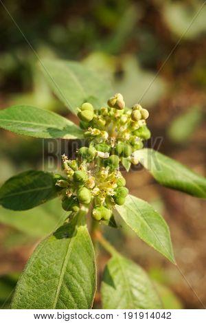 fresh green Euphorbia heterophylla flower in nature garden