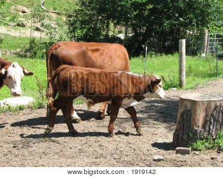 Hereford Calf And Cow