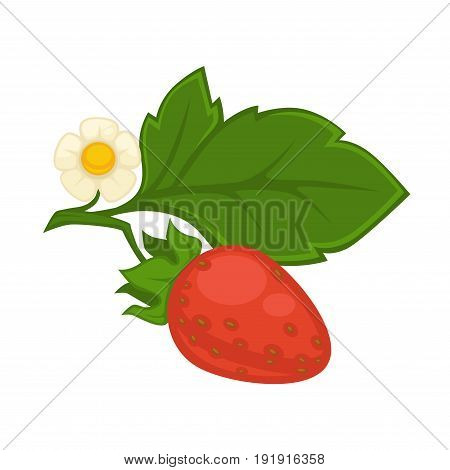 Strawberry in red color with green leaf and blooming flower isolated on white. Vector colorful illustration in flat design of summer tasty whole fruit growing in gardens with small seeds on skin